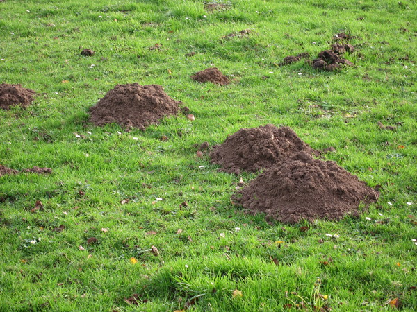 Viele Maulwurfshügel auf einem grünen Rasen Rollrasen verlegen